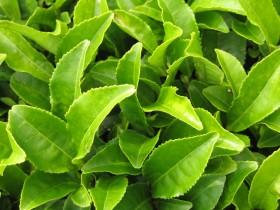 Фото: Листья зеленого чая.