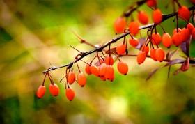 Фото: Чай из плодов барбариса — вкусно и очень полезно.
